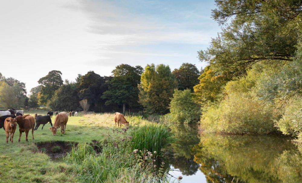 Cows by a river
