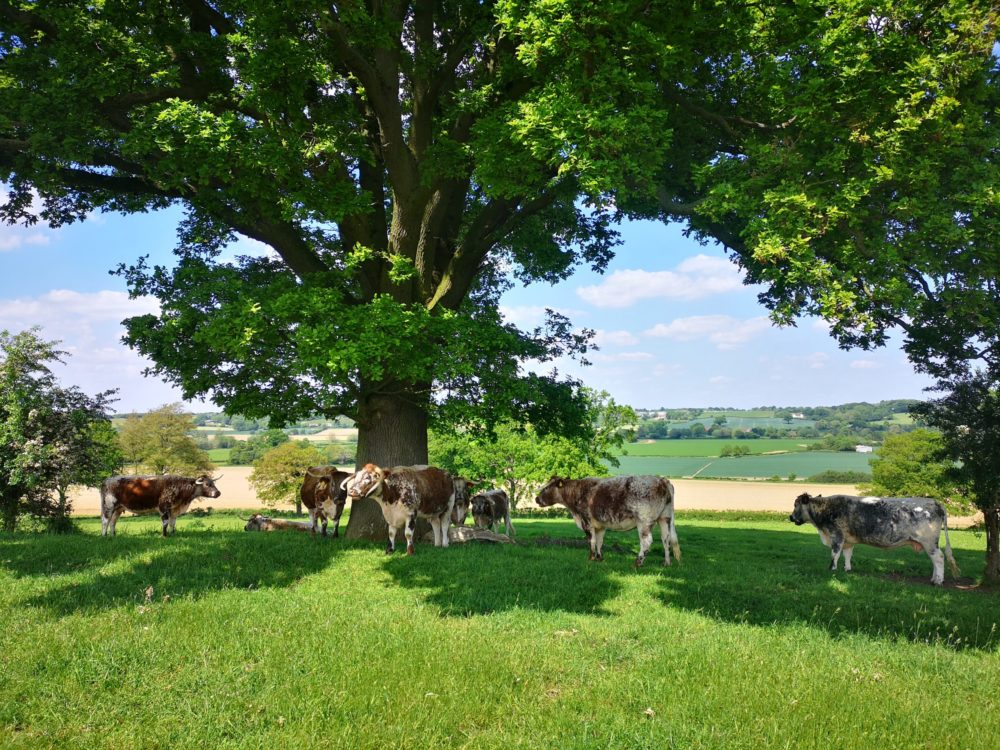 A photo of cows in a field under a tree