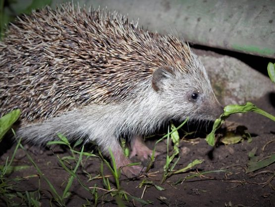 Hedgehog eating at night