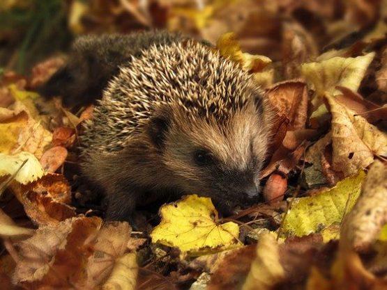 Hedgehog in autumnal leaves